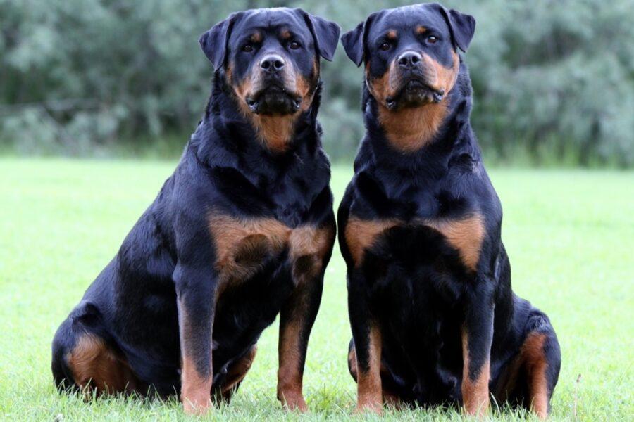 cani di grossa taglia