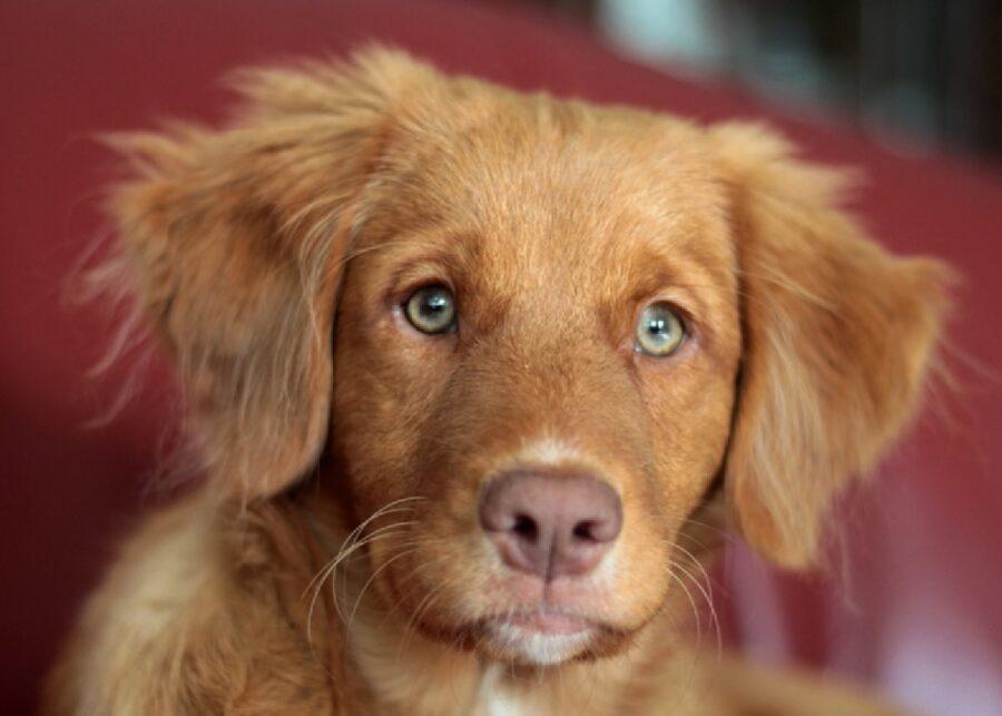 cagnolino pelo marrone occhi azzurri