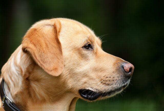 Labrador di profilo