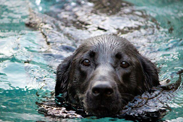 cane nero in acqua