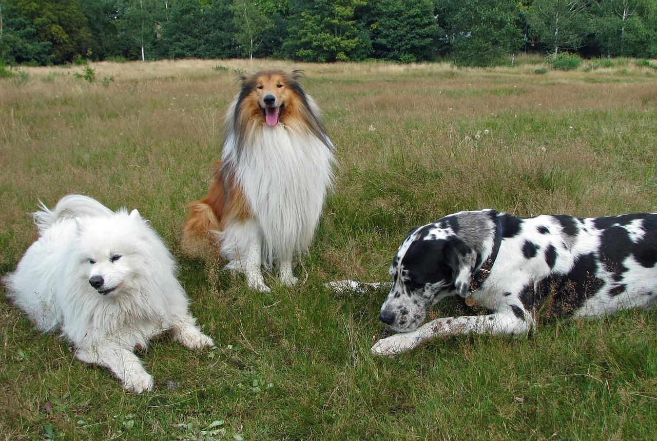 samoiedo con altri animali