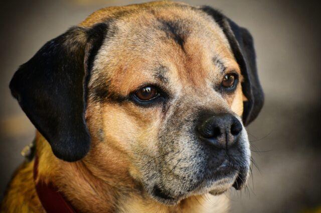 disperati proprietari perso cane leo