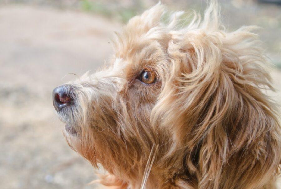 cagnolino pelo chiaro medio lungo