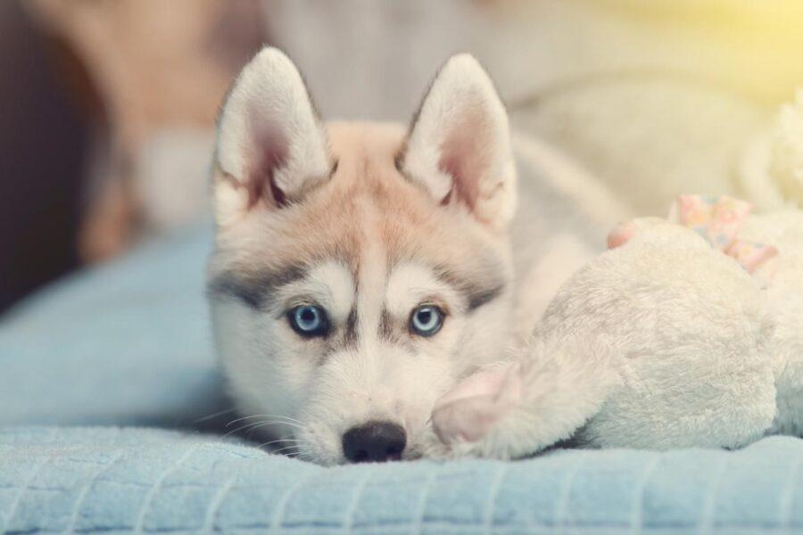 cane piccolo di età