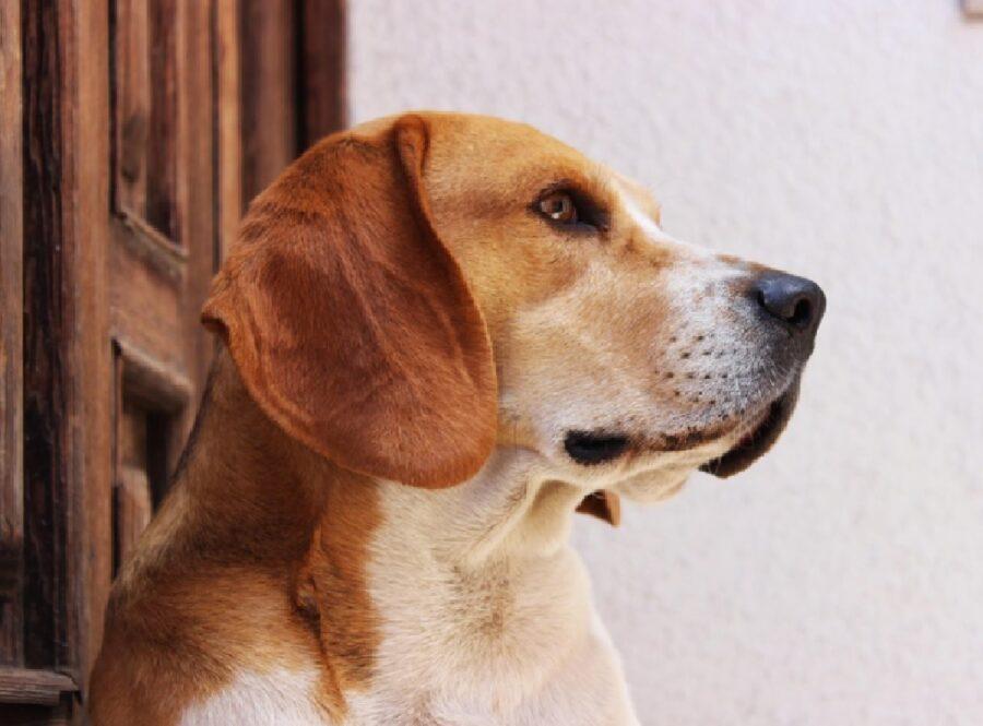 cane beagle davanti entrata