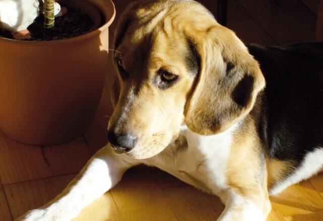 cane beagle guinzaglio scappa