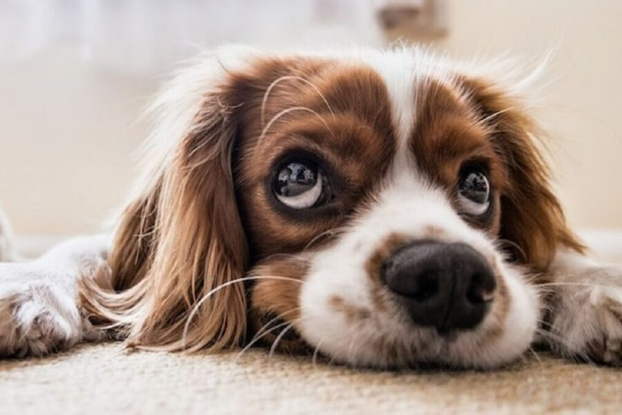 cane scettico