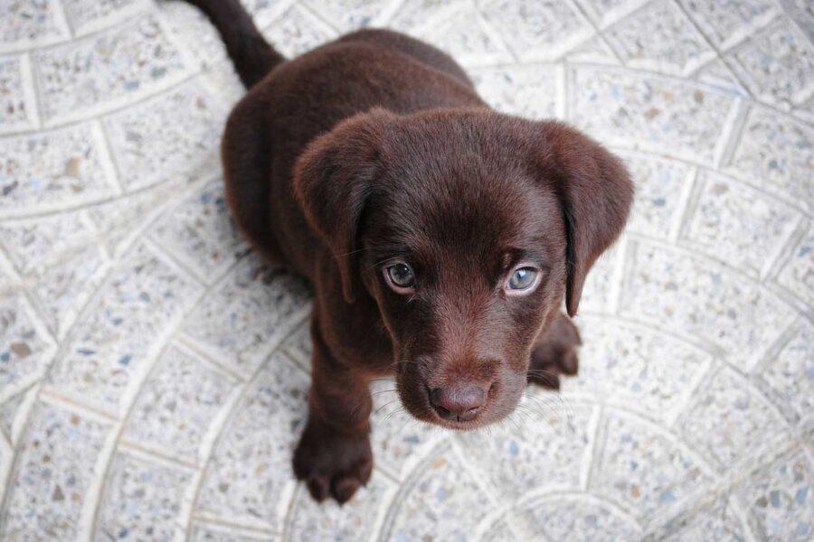 cucciolo di cane labrador