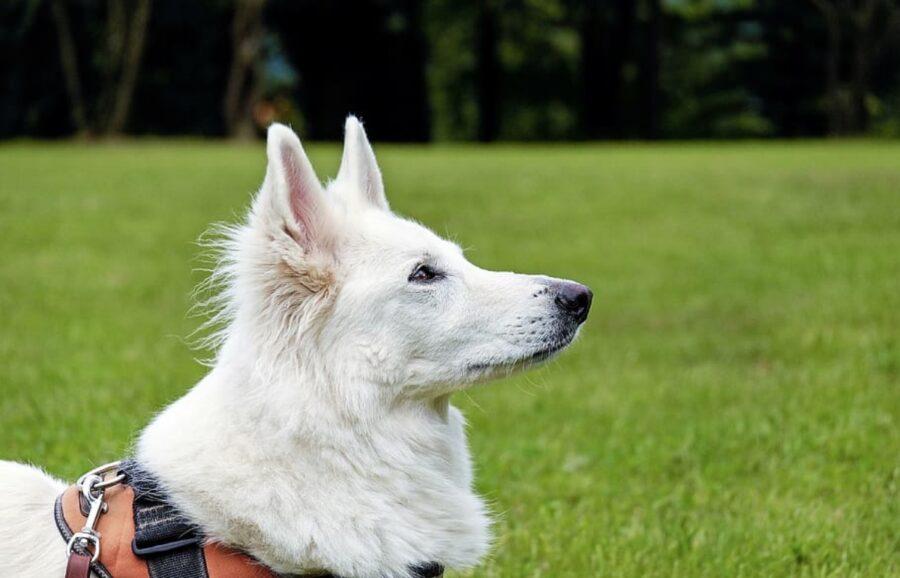 cane bianco guarda