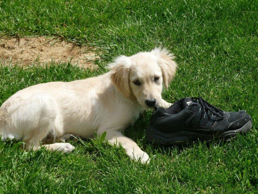 cagnolino scarpa gioca