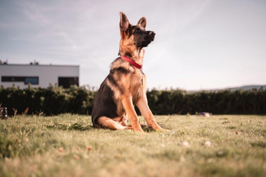 cucciolo seduto campo
