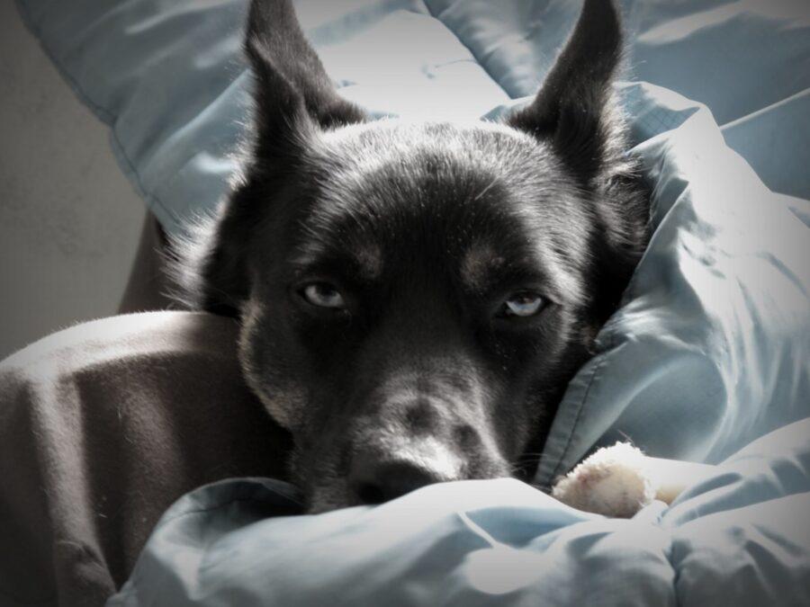 cane coperte tenero