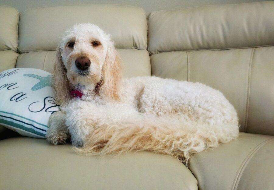 cane barboncino bianco