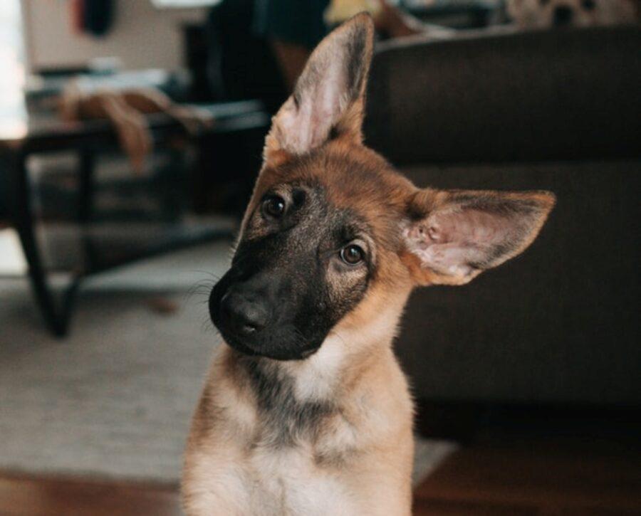cane pastore tedesco