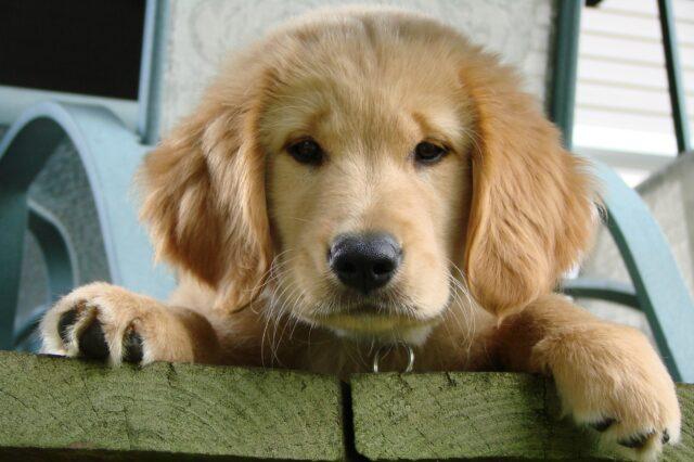 cagnolino golden retriever