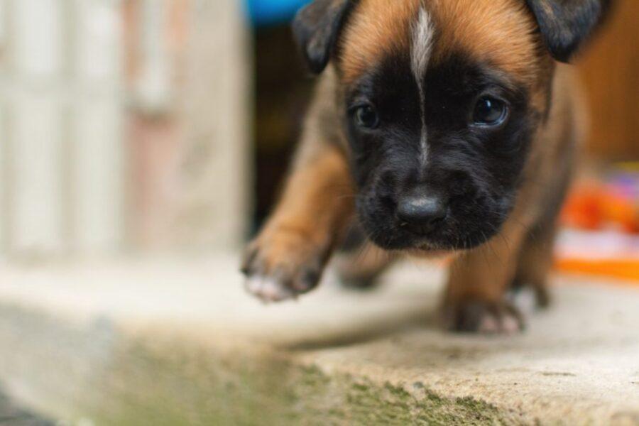 cane piccolo cammina
