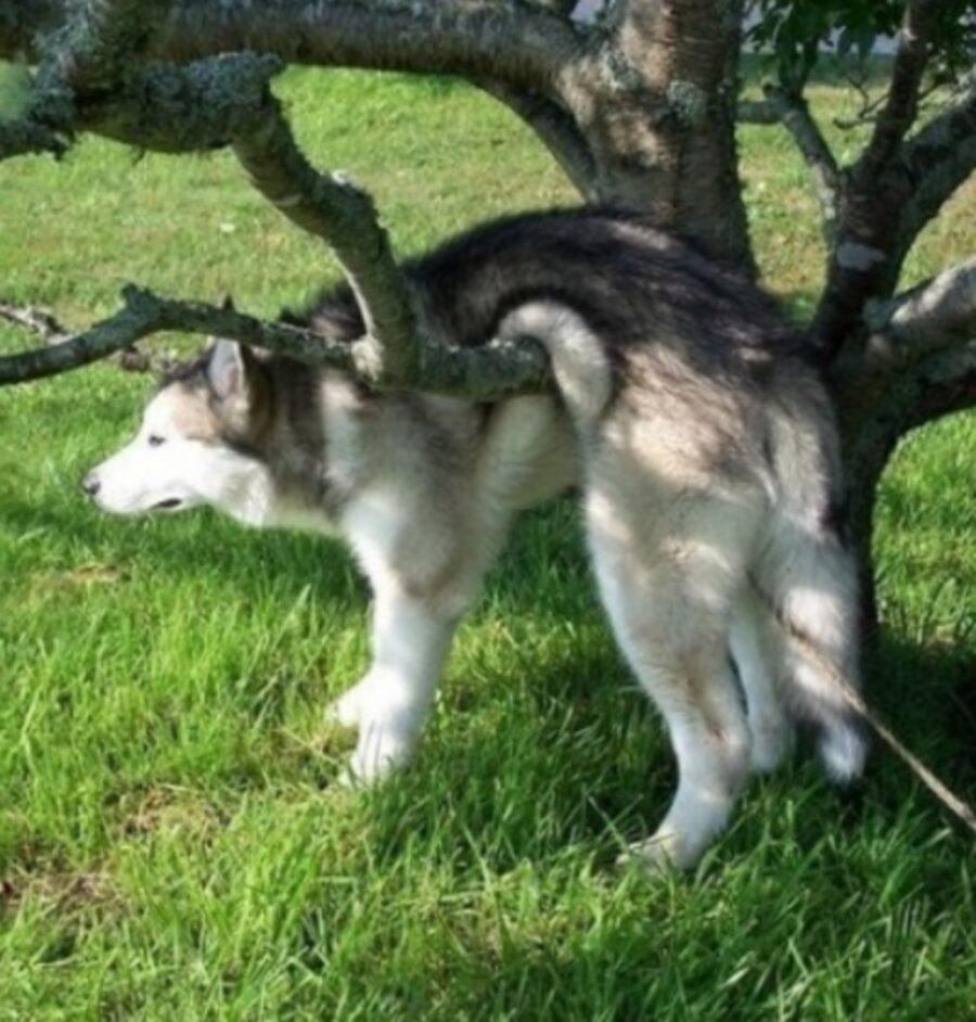 husky sul tronco