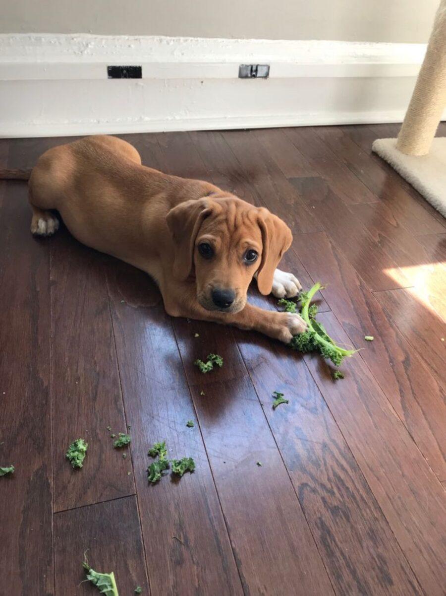 cane insalata pavimento