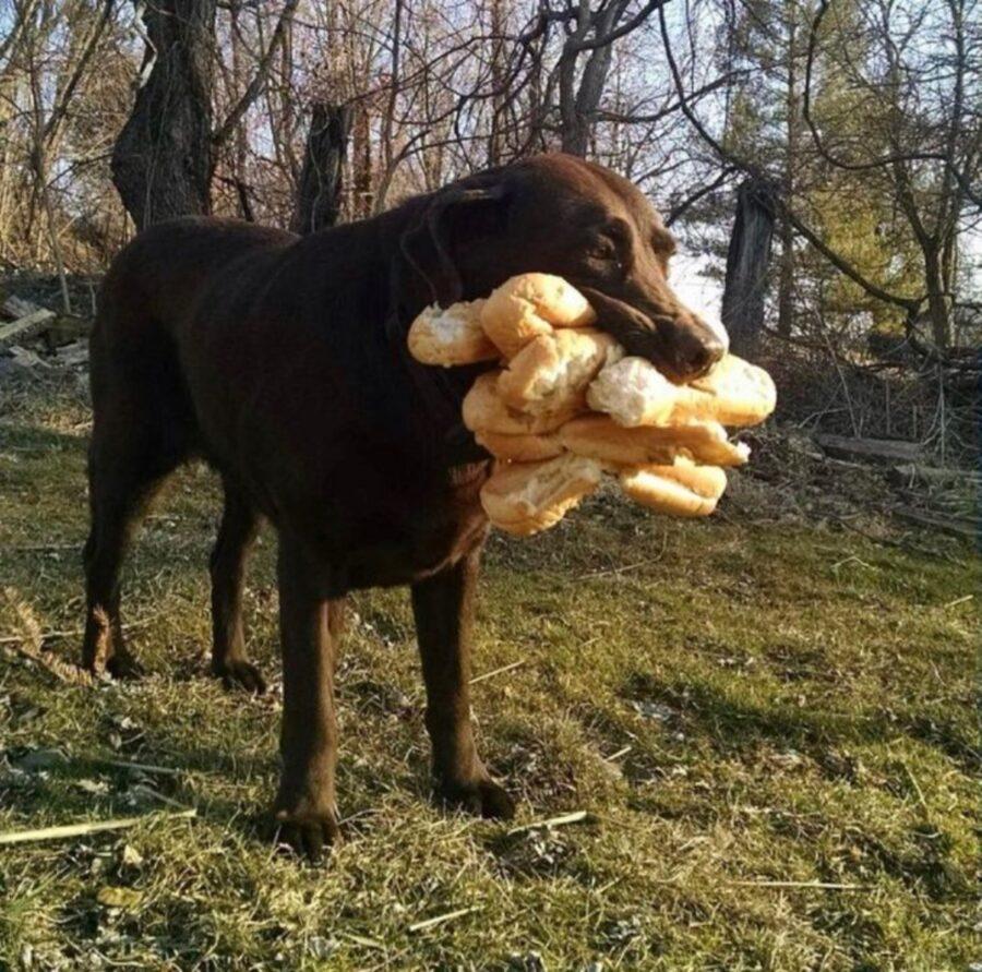 cane labrador pane
