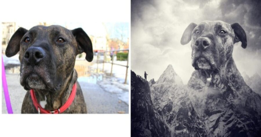 cane montagna testa