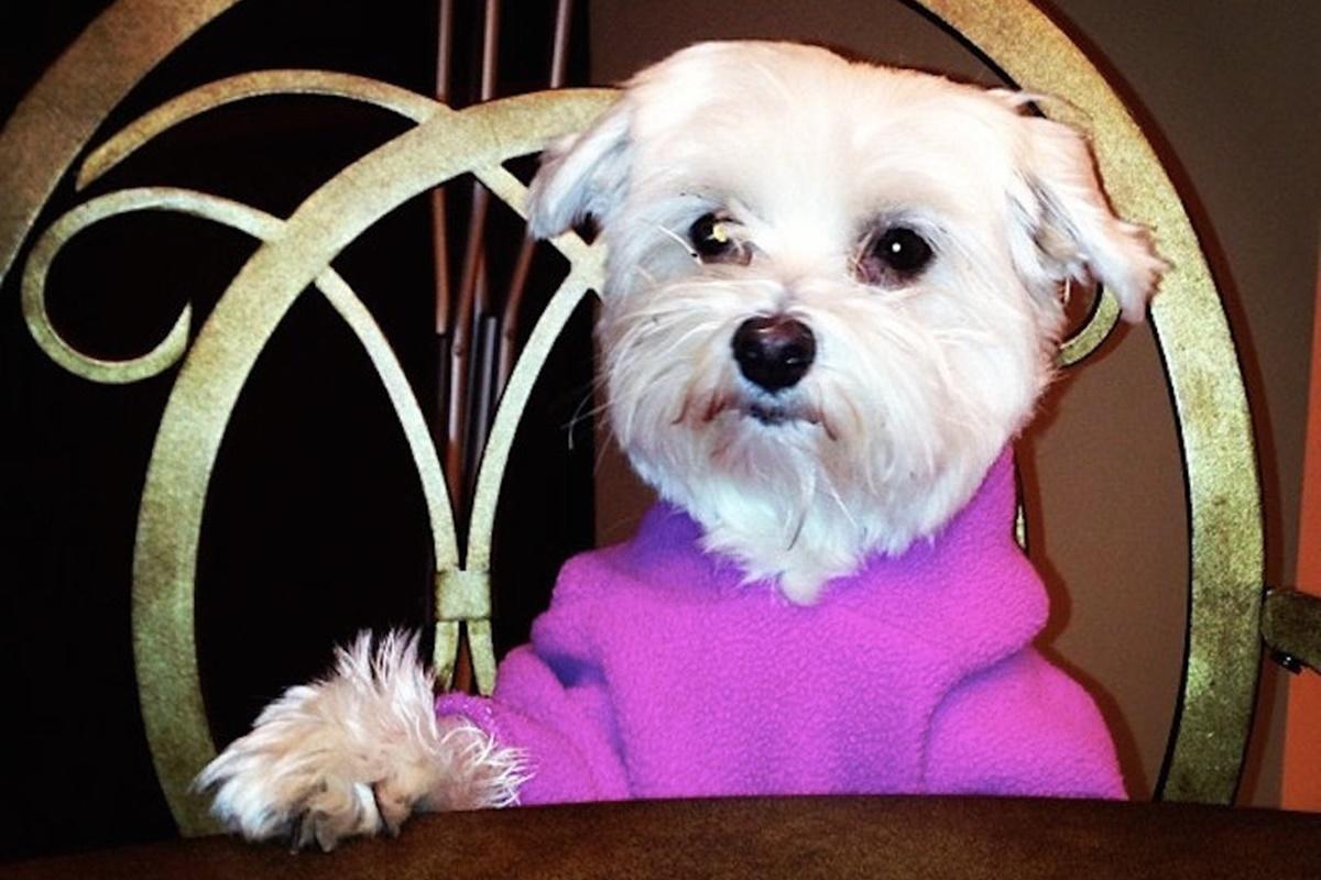 cane maglia rosa