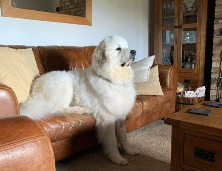 cane bianco peloso