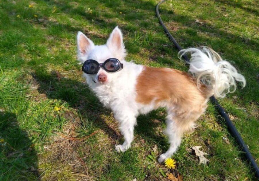 cane indossa occhialini