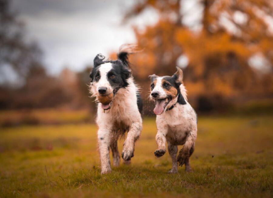 cani coppia giocano assieme