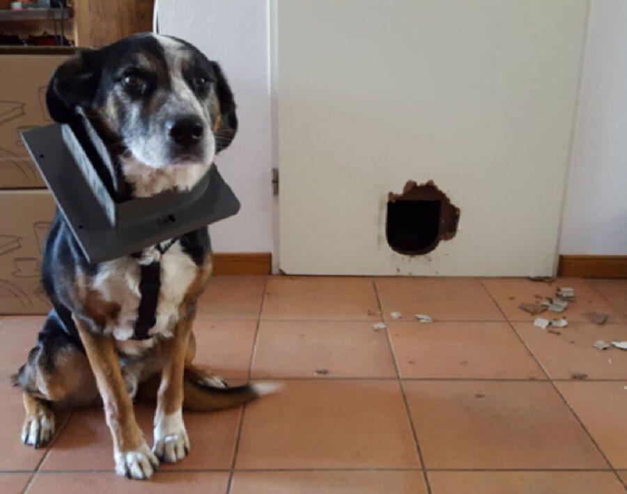 cane sfonda porticina porta