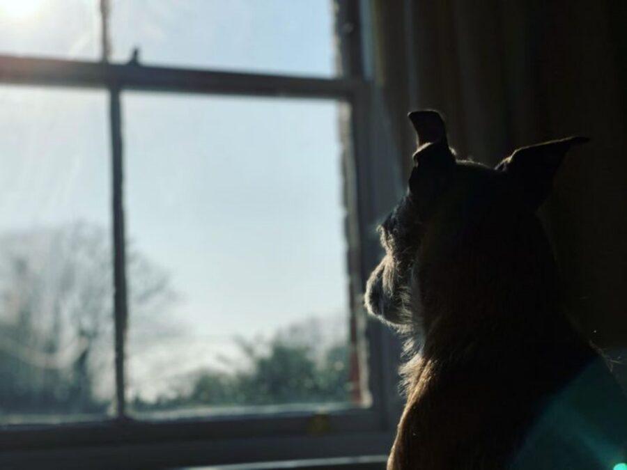 cane osserva finestra