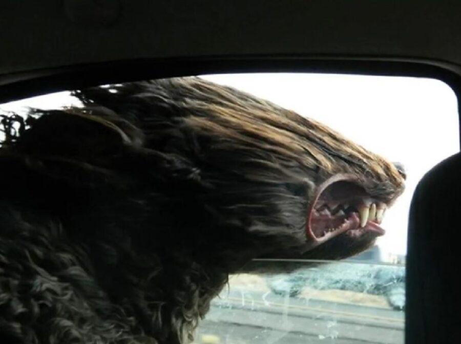 cane pelo al vento