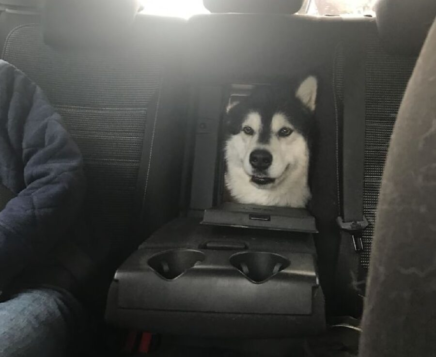 cane husky testa sbuca fuori da dietro