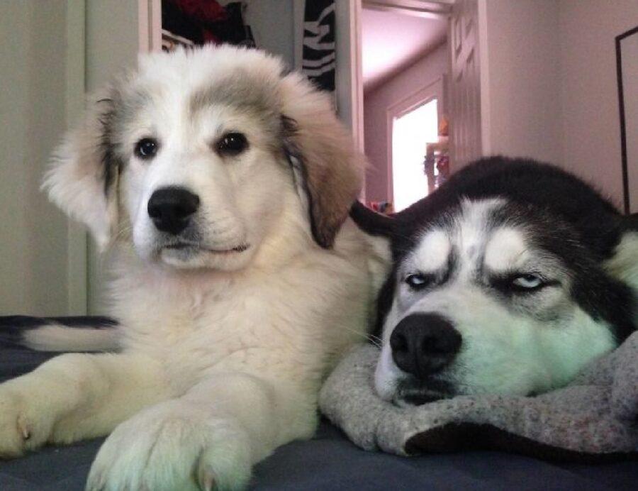 cane husky vicino sorellina