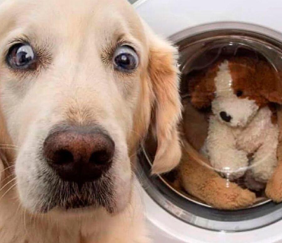 cane labrador color crema