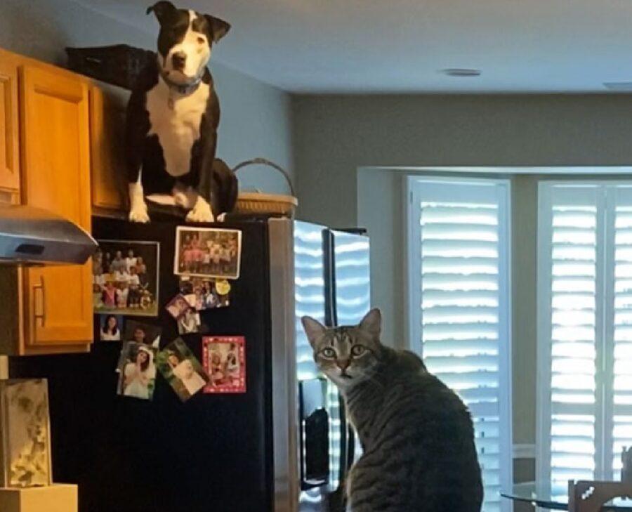cagnolino pitbull sul frigo