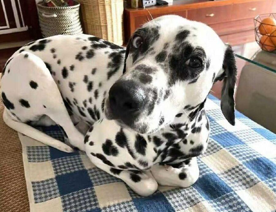 cane dalmata rannicchiato come gatto