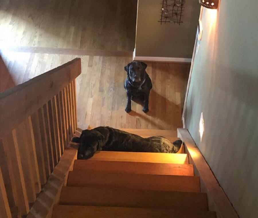 cane non fa salire scale