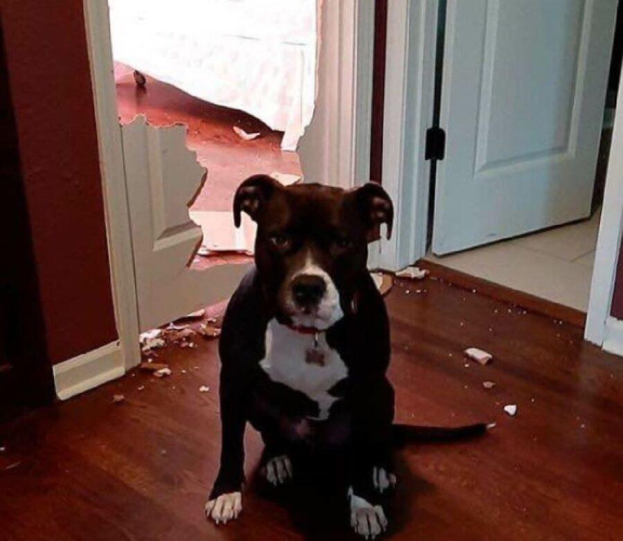 cane distrugge entrata camera