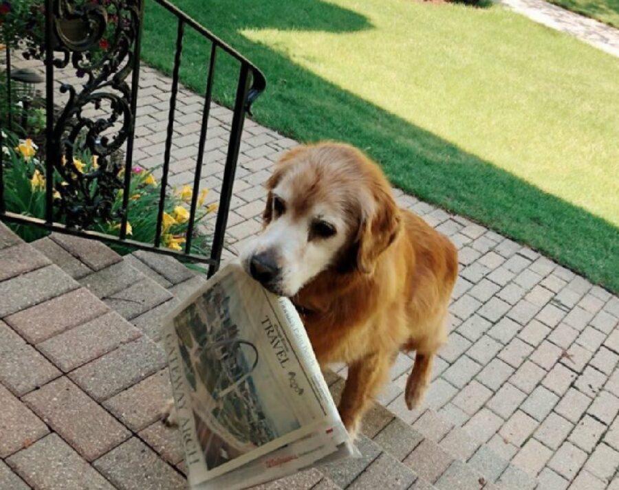 cane golden anziano primo mattino