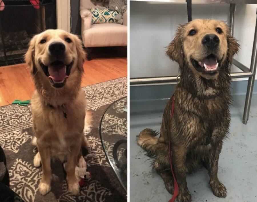 cane golden sporco di fango