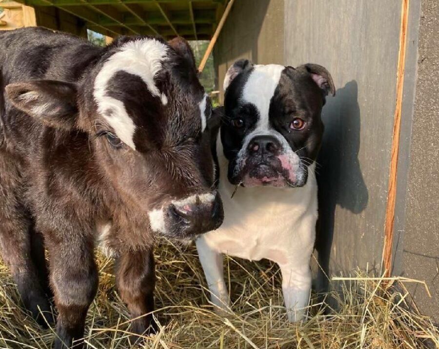 cane bulldog assomiglia mucca