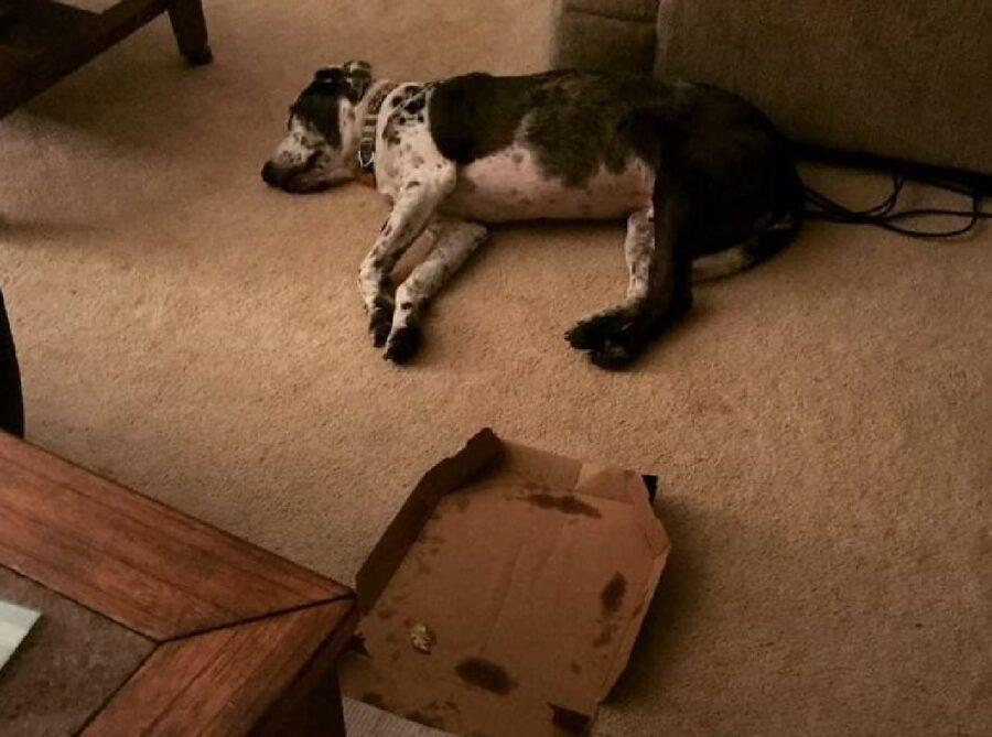 cane mangia pizza e poi si riposa