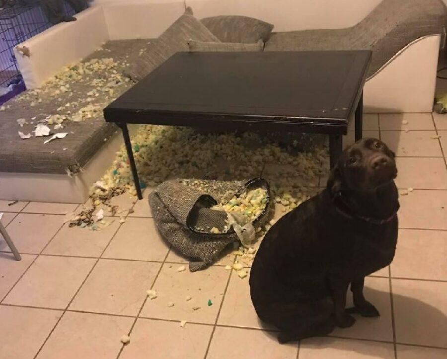 cane distruttore di divani