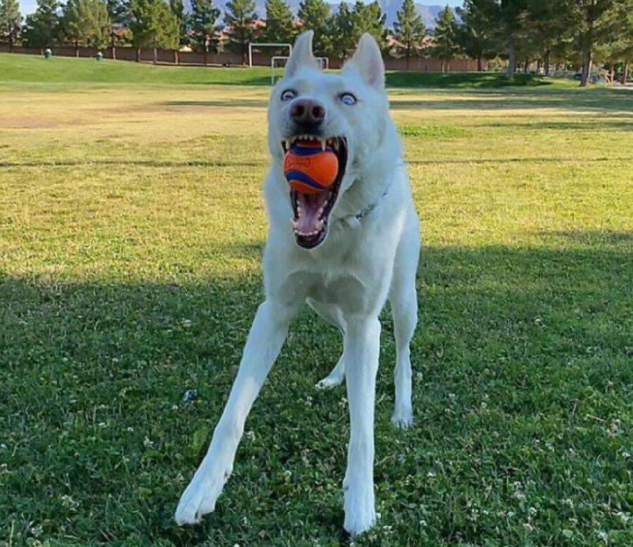 cane bianco palla in bocca