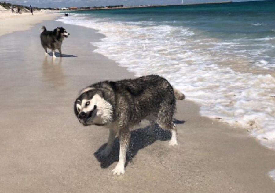 cane husky esce da acqua