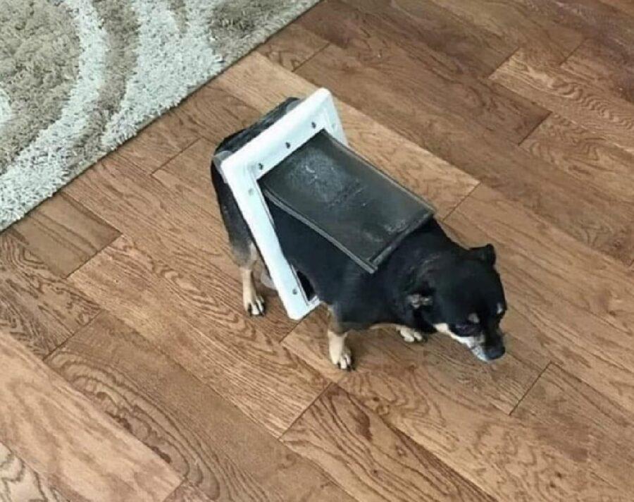 cane rimane incastrato