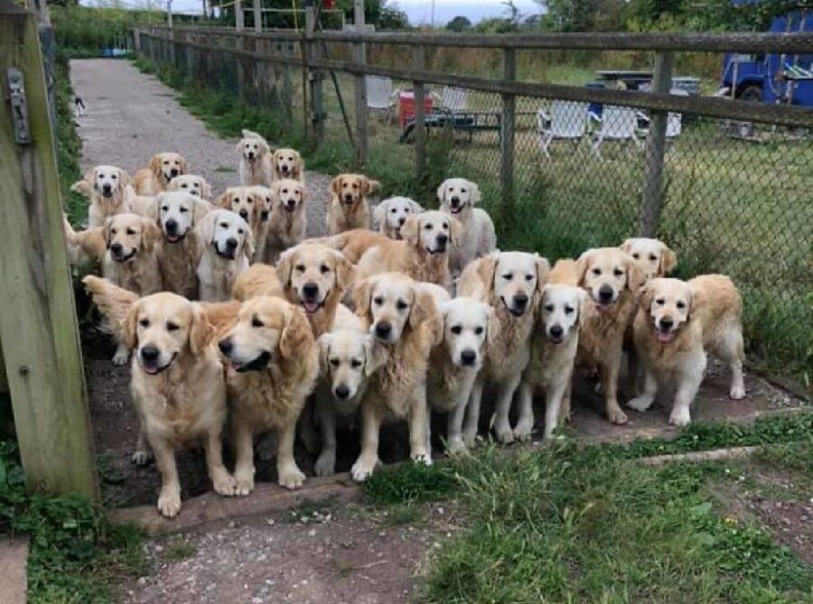 gruppo di cani golden