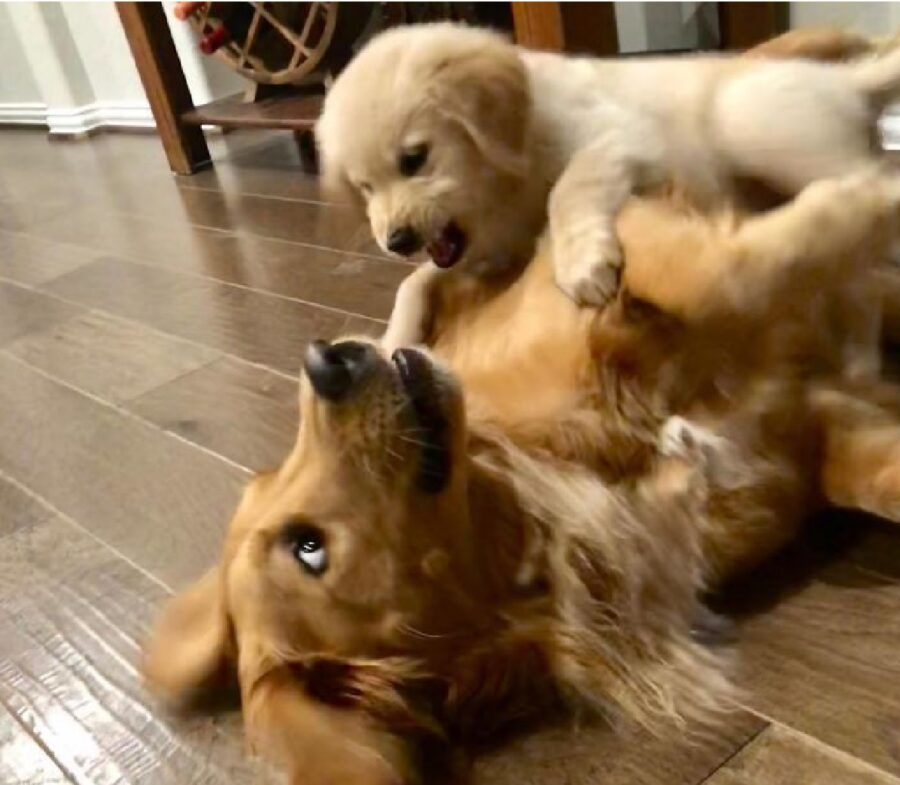 cane ringhia amico grande