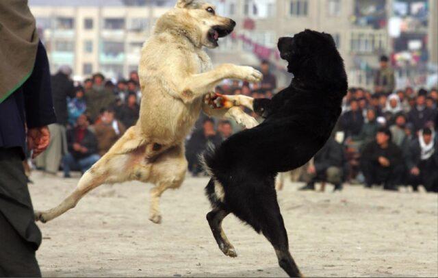 combattimenti clandestini tra pitbull