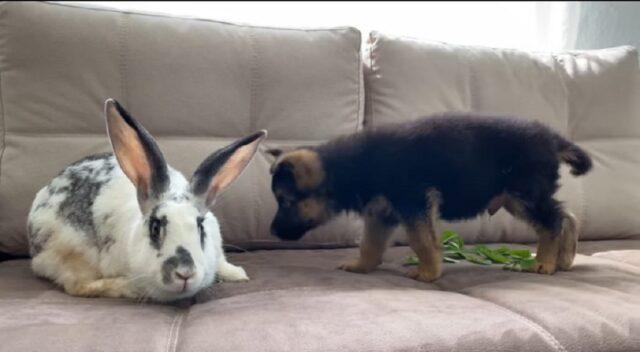 cucciolo di pastore tedesco e coniglio